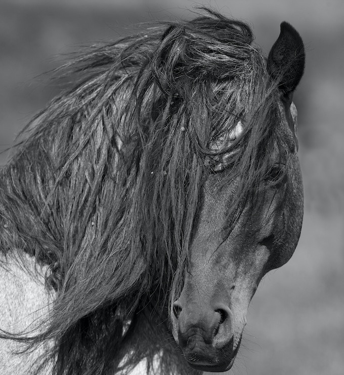 The stallion Freedom at the Return to Freedom Sanctuary in California