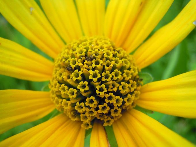 Ox Eye Sunflower