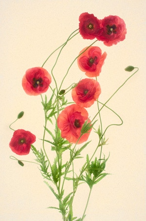 Red Poppies on Kozo Washi