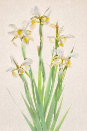 White Irises on Kozo Washi