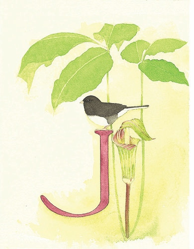 J is for Junco, and for Jack-in-the-Pulpit.