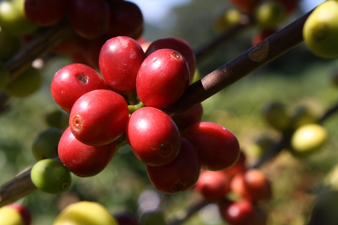 Red Bourbon coffee cherries at my cousin's farm