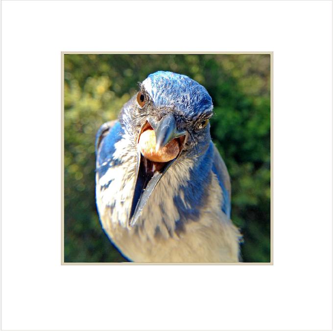 Western Scrub Jay