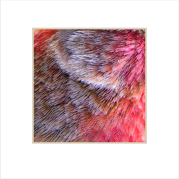 Feather detail of a House Finch.