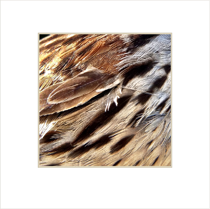 Feather detail of a Song Sparrow.