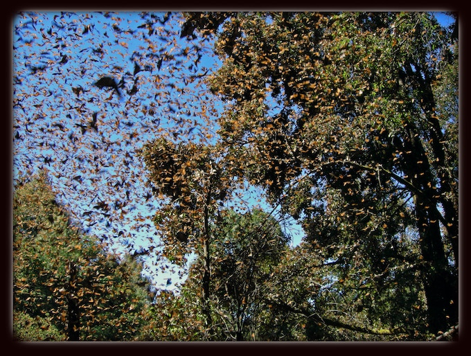 10,000 Monarch Butterflies, Michoacán, Mexico, March 2008