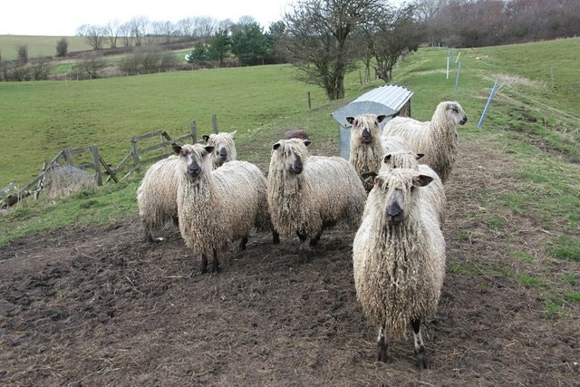 Teeswater Sheep; Source: wikipedia