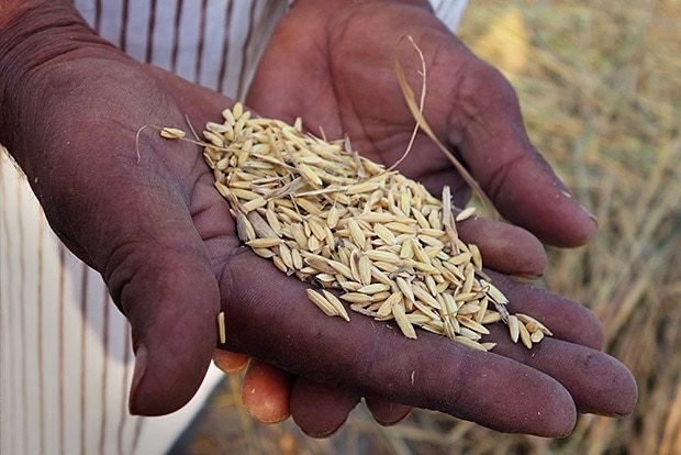 A community farmer in India holds freshly threshed Basmati Rice Seed