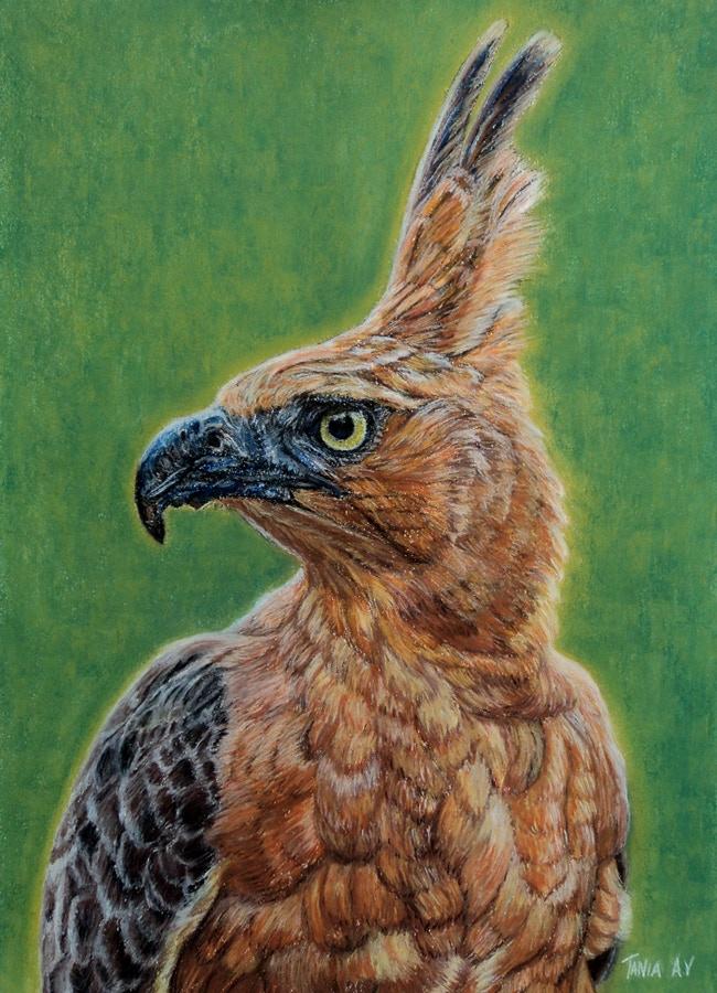 Javan Hawk Eagle by Tania Ávila Villalba