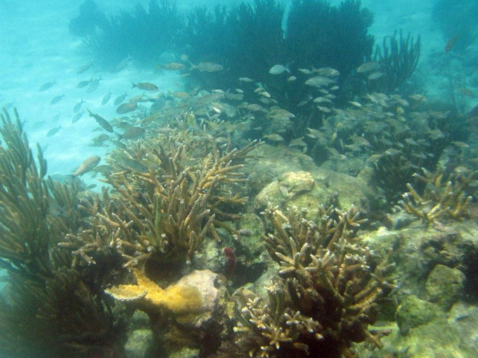 corals in Belize