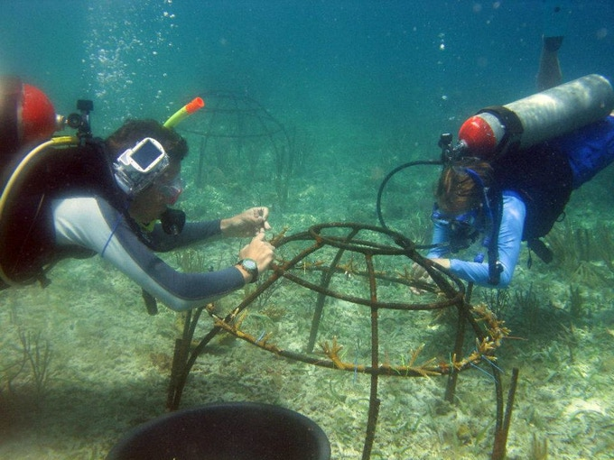 One of the ways in which scuba divers attempt to repair coral ecosystems