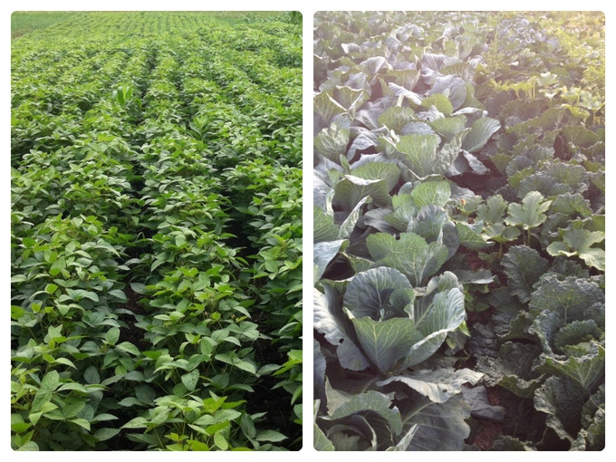 Soy beans + Cabbage in our fields