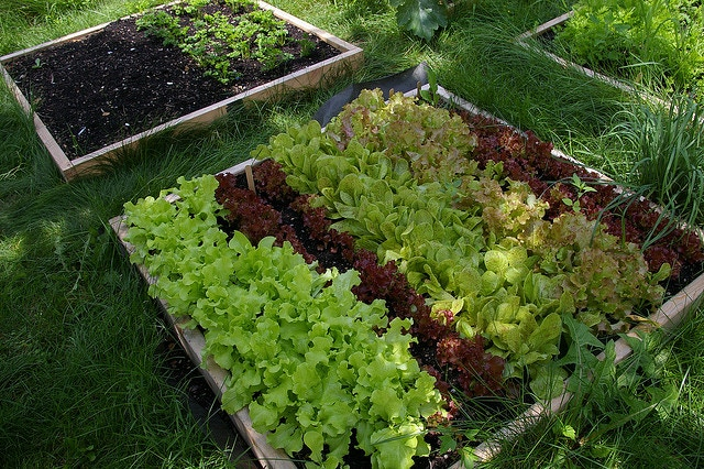 One four by four foot raised bed can raise a lot of food; low-income families we work with raised an average of 90 servings of veggies in just three beds like this- in one season!