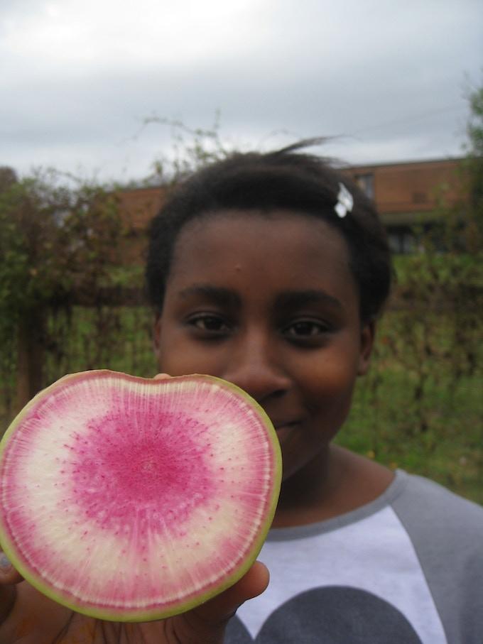 Garden crew harvesting and fermenting Misato Rose radishes last fall.