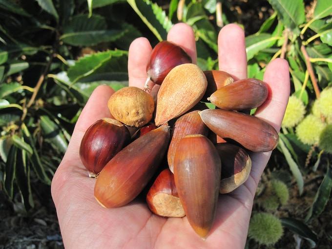 Staple foods from Mediterranean climate trees: chestnut (ready for prime time), bunya bunya (promising), oak (needs breeding work)