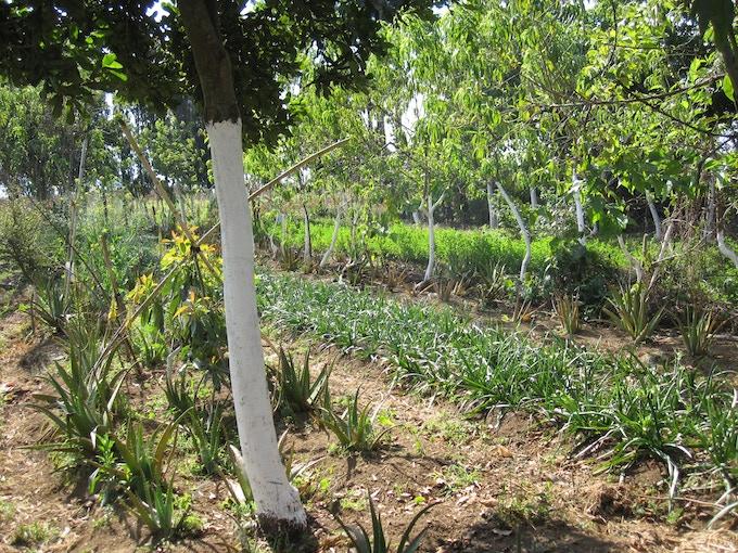 Perennial market garden in Chimaltenango, Guatemala with avocado, macadamia, perennial beans and tree kales, medicinal crops, and livestock fodder.