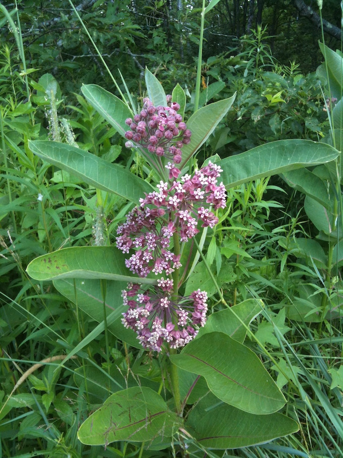 Around the world many milkweed species show great promise as perennial fiber and hydrocarbon producers. Some are being domesticated.