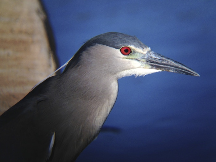 Night Heron, iPhone 5, Snapzoom, and Canon 18x50IS Binoculars