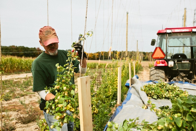 Jeff from Hop Head farms, harvesting hops.