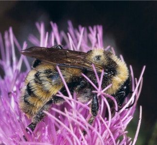 Bombus pensylvanicus - a threatened North American bumble bee