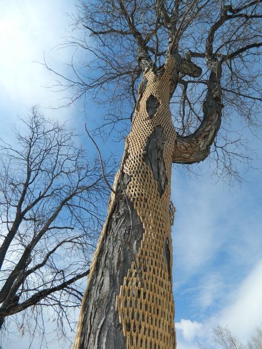 Tree Wrap V in Lafayette Co March 2013