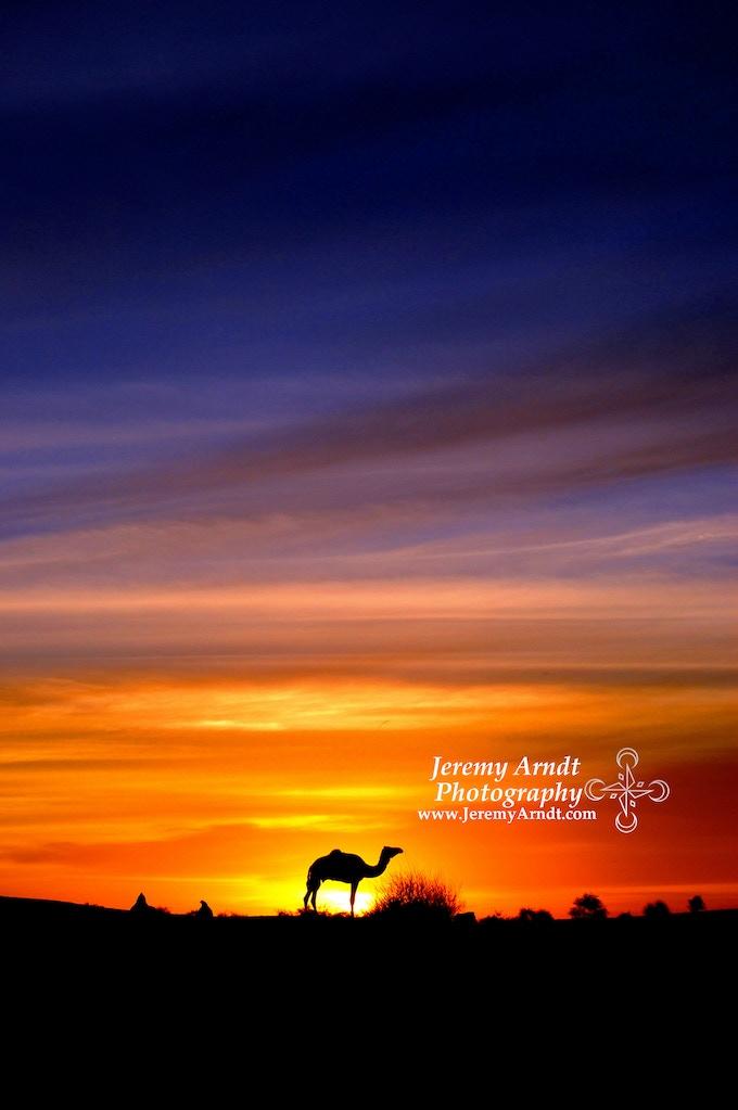 Saharan Camel - Mali