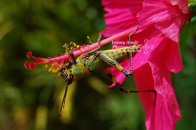 Grasshopper - Guinea