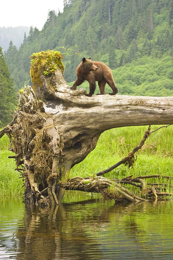 Grizzly Cub on Uprooted Tree