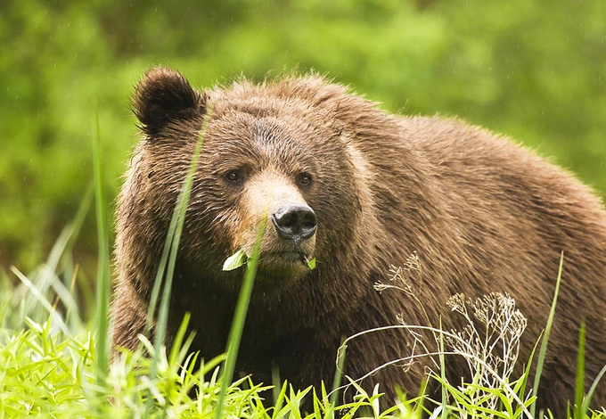 Grizzly in Grass