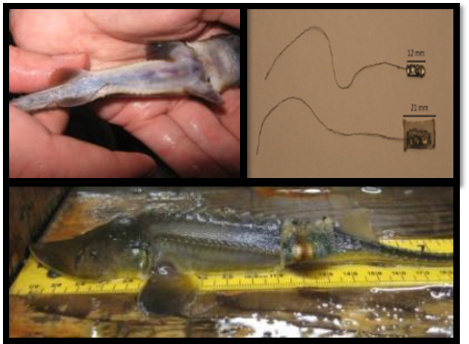 Sturgeon with a transmitter - the biosensor will be inserted under the skin.