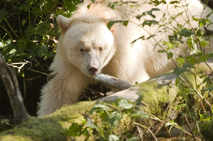 A spirit bear in the Great Bear Rainforest of BC.