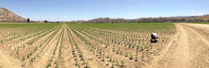 Filmmaker Griffin Hammond, amongst young jalapeño plants. 100 million pounds are grown for Sriracha!