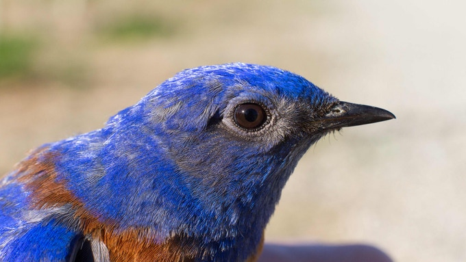A male Western Bluebird receives a numbered leg band.
