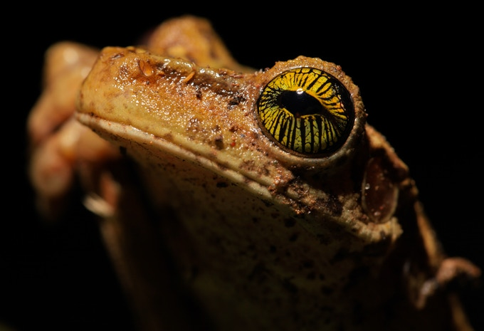 Giant Broad-headed Treefrog ©Ryan P. Killackey