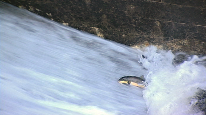 Two rivers a documentary film by doug hawes davis for Fish swimming backwards