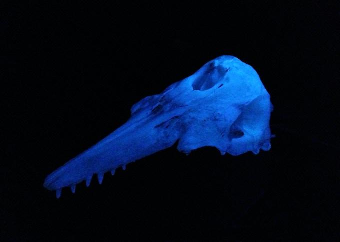 Test cast of Beluga skull.