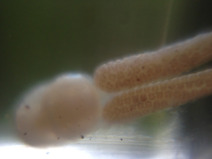 This bizarre trout parasite was recently documented by the Whitewater Creek Conservation Association by using the Micro Phone Lens. What will you discover?