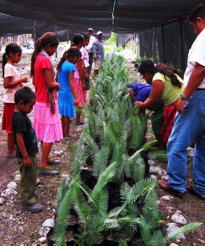 Vivero Alma de Xi'ui - cultivating el chamal plant.