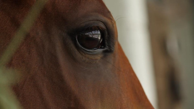 A thoroughbred at Graham Motion's barn in Palm Meadows