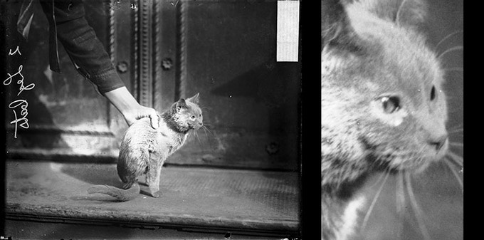 Man holding a half-cat. Chicago, 1909. (Confirmed by inspection of original negative)