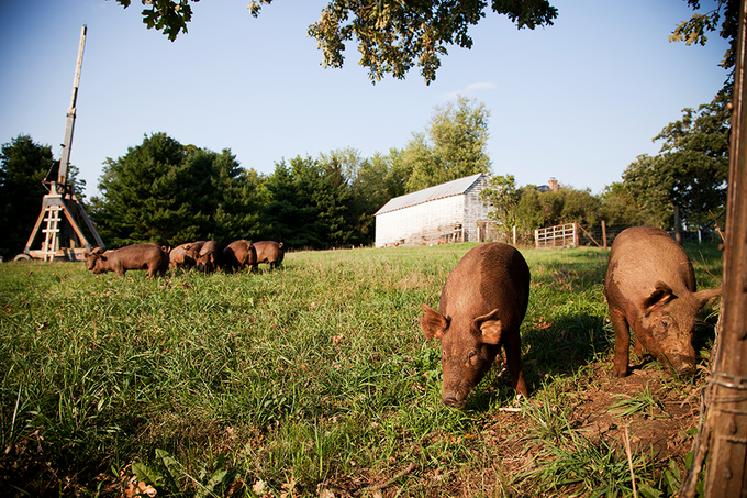 Our hogs at Rollercoaster Farms, Darlington, WI.