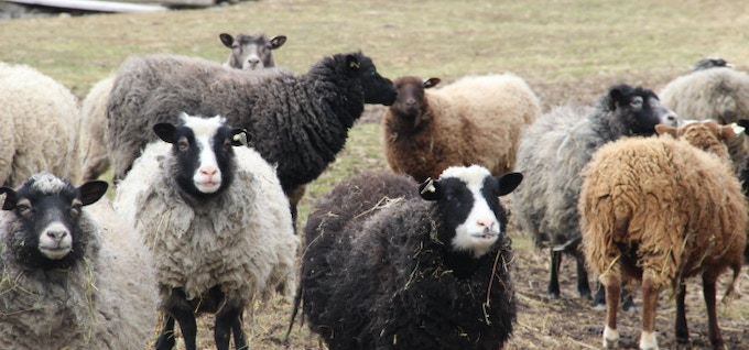 Some of the supporting sheep cast of MAGNETIC