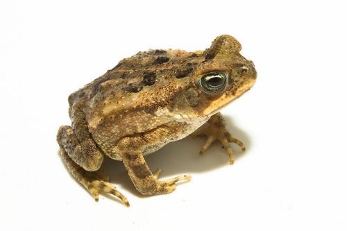 Cane toad. Image via Brian Gratwicke