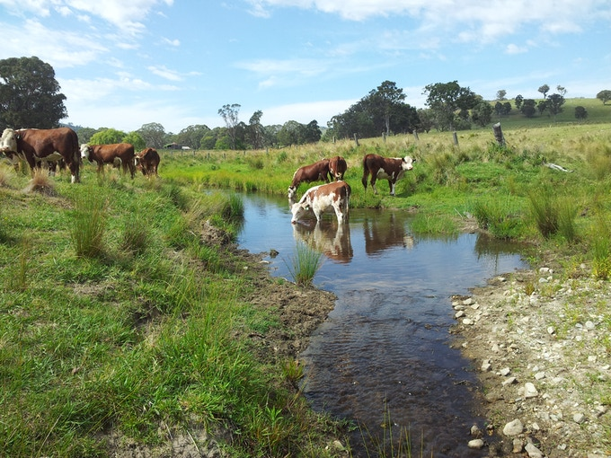 The streams at Bald Rock run with clean crisp water that is vital for the cattle and wildlife