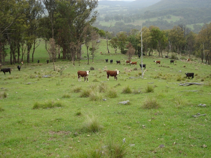 Cattle at Bald Rock