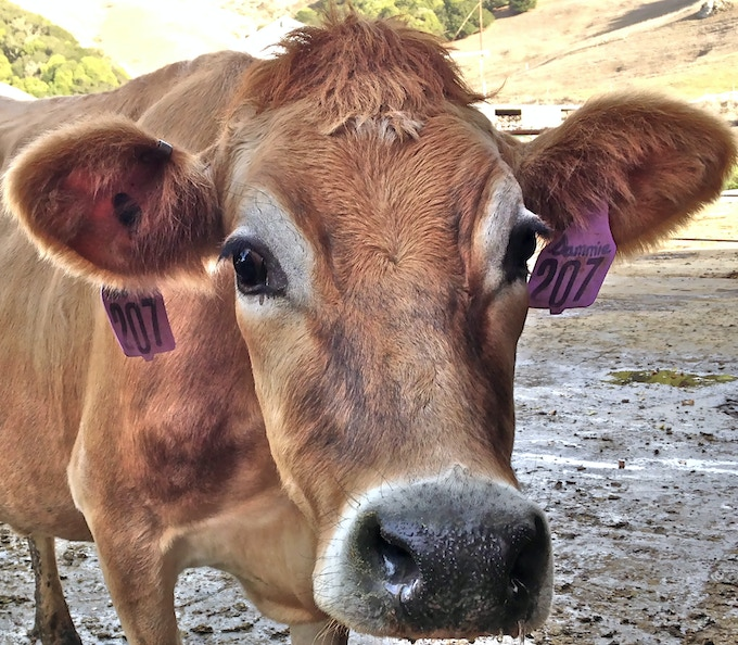 This is Sammie, who belongs to a local dairy friend. We will buy our cows from the farm where Sammie was born, but we can't buy Sammie because she is her owner's favorite!