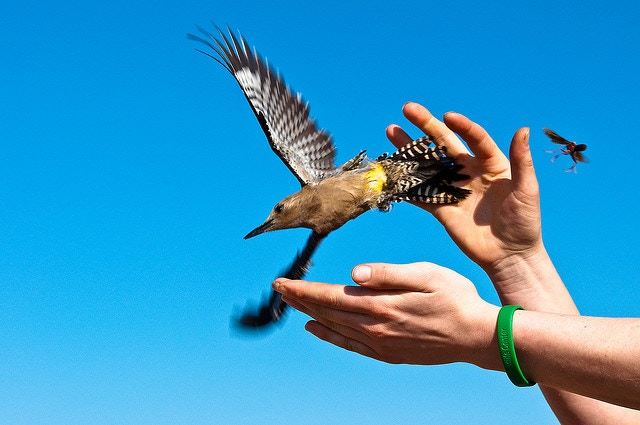 A Gila Woodpecker being released after banding
