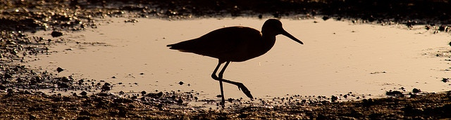 A Willet on the Agiabampo Estuary