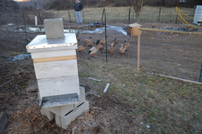 Another hive.  The ducks just LOVE playing in the mud!