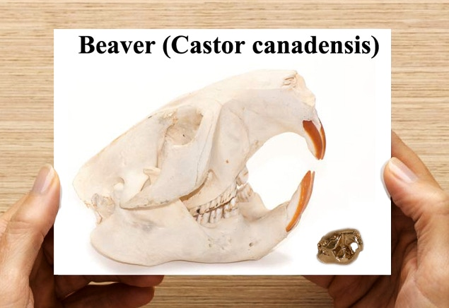 Information card showing the size of the animal skull compared to the pendant